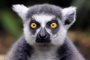 lemur mirada inquisidora